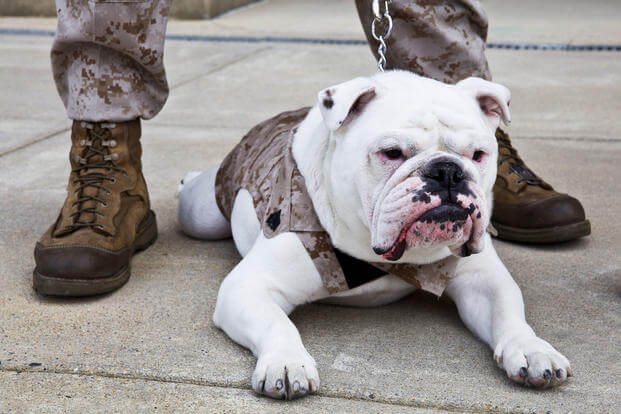 The outgoing Marine Corps mascot, Sgt. Chesty XIII, lays on the ground following the Eagle Globe and Anchor pinning ceremony for Private First Class Chesty XIV, incoming Marine Corps mascot, at Marine Barracks Washington in Washington, D.C., April 8, 2013. (U.S. Marine Corps/Mallory S. VanderSchans)