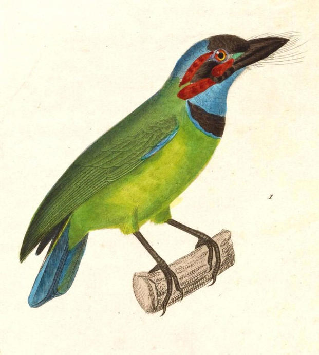 "The Blue Eared Barbet, a jungle bird whose song sounds like ""Re-Up."""