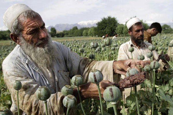 Afghan farmers collect raw opium as they work in a poppy field in Khogyani district of Jalalabad.