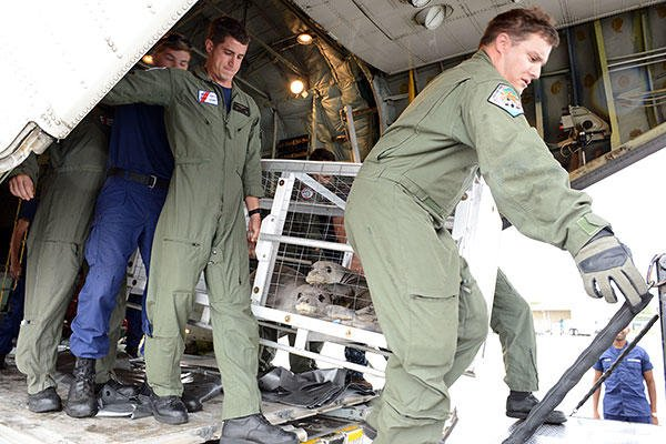 Crew members from Coast Guard Air Station Barbers Point offload two rehabilitated Hawaiian monk seals from an HC-130 Hercules airplane. (U.S. Coast Guard/PO2 Tara Molle)