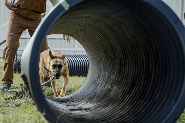 Vanda, a military working dog trainee assigned to the 341st Training Squadron, prepares to crawl through a tunnel during a obedience training course at Joint Base San Antonio-Lackland, Nov. 17, 2016. Senior Airman Keith James/Air Force