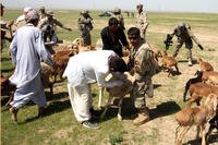 Members of the Afghan National Civil Order Police help with the inoculation of sheep and goats. (DoD photo/William Humes)