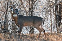 Whitetail Deer in Woods